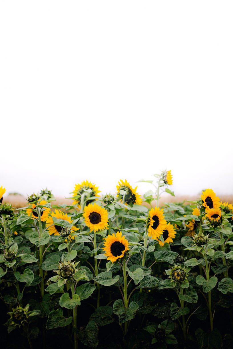 Sunflowers By Christina Greve